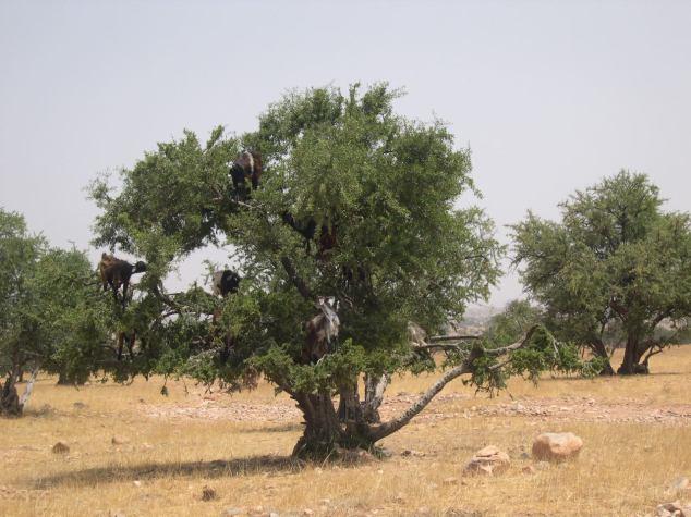 Des chèvres dans l'arbre