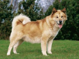 chien-du-groenland