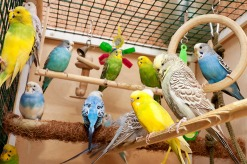 budgies_in_cage_with_accessories