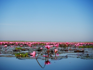 lac-de-lotus-rose-udon-thani-4