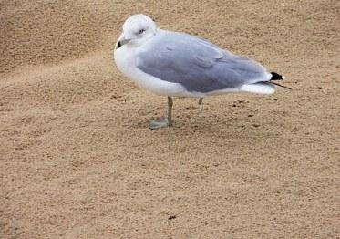 seagull-13667__340