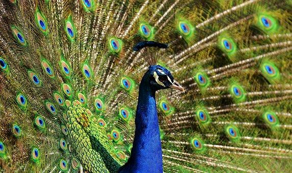 peacock-2479717__340