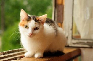 Le-chat-Calico