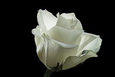 white-rose-2331800_960_720